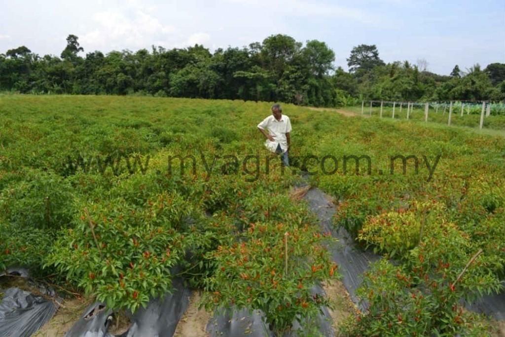 Fertigasi cili padi berasaskan tanah
