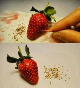 Biji dicungkil pada permukaan buah menggunakan pencungkil gigi.