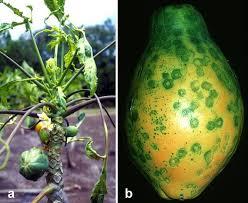 Penyakit Virus Bintik cincin Betik (Papaya Ringspot Virus)