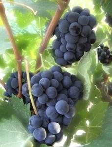 Anggur Isabella