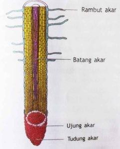 Struktur dalaman akar