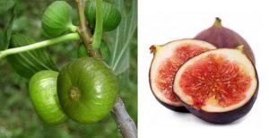 Buah Tin/ Figs