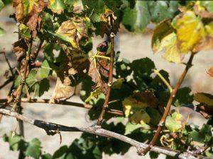 antraknos anggur