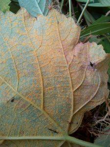 karat daun pada tanaman anggur