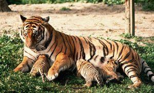 harimau-dan-anak2-e1463133093114