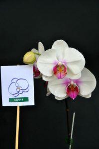 orkid phalaenopsis