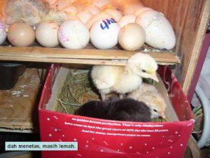 anak ayam yang sudah menetas