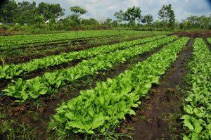 penanaman sayur secara konvensional diatas batas