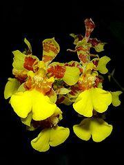 orkid oncidium