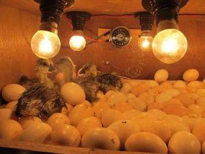 pengeraman telur