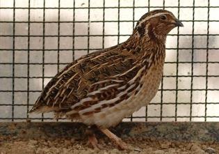 Penternakan Burung Puyuh Myagri Com Mymyagri Com My
