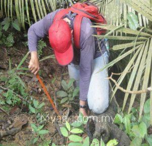 mencangkul pokok herba yang dijumpai