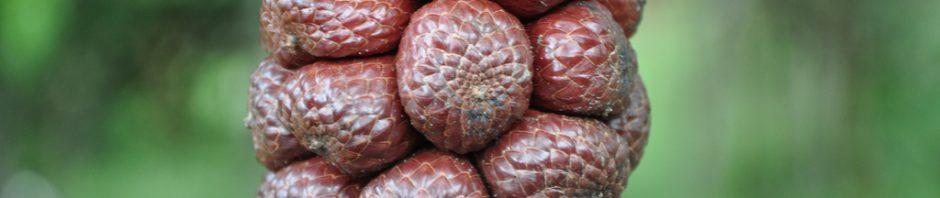 buah kelubi