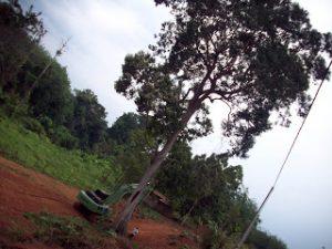 Pokok Keranji